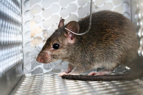 Mouse Rat Removal Shreveport Bossier